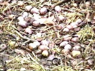 acornsmar02.jpg